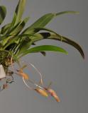 Bulbophyllum arsoanum