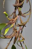 Bulbophyllum chaunobulbon aff.