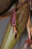 Bulbophyllum chaunobulbon aff. Close-up.