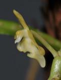 Micropera pallida. Close-up side.