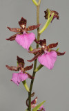 Rhynchostele bictoniensis.