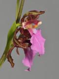 Rhynchostele bictoniensis. Close-up side.