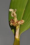 Flickingeria fimbriata.