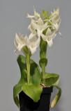 Pecteilis hawkesiana f. alba.