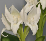 Pecteilis hawkesiana f. alba. Closer.