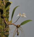 Bulbophyllum acutiflorum.