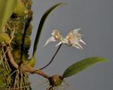 Bulbophyllum acutiflorum. Closer.