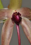 Bulbophyllum echinolabium. Close-up.