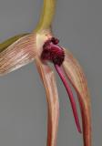 Bulbophyllum echinolabium. Closer side.