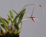 Bulbophyllum nitidum.