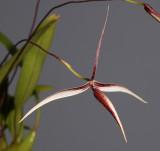 Bulbophyllum nitidum. Closer.