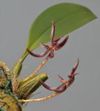 Bulbophyllum patens.