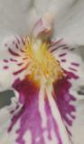 Miltoniopsis phalaenopsis. Close-up.