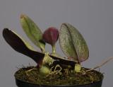 Bulbophyllum dischorense