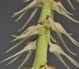 Bulbophyllum cocoinum. Close-up.