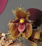 Bulbophyllum dayanum. Closer.