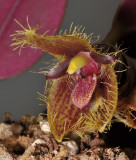 Bulbophyllum dayanum. Close-up.