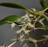 Bulbophyllum kaniense. Closer.