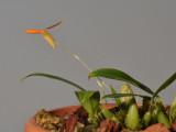 Bulbophyllum pyroglossum