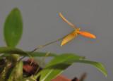 Bulbophyllum pyroglossum. Closer.