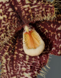Dracula chimaera. Close-up.