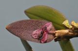 Bulbophyllum tindemansianum.