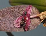 Bulbophyllum tindemansianum. Closer.