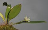 Bulbophyllum aemulum.