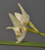 Bulbophyllum aemulum. Close-up.