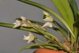 Bulbophyllum aemulum. Cleistogamous form.