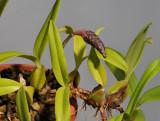 Bulbophyllum coriophorum.