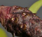 Bulbophyllum coriophorum. Close-up.