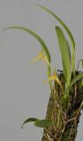 Bulbophyllum leptobulbon.