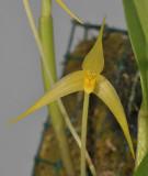 Bulbophyllum leptobulbon. Closer.