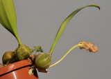 Bulbophyllum lilacinum. aff.