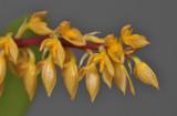 Bulbophyllum rufinum. (B. macrocoleum). Closer.