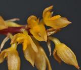 Bulbophyllum rufinum. (B. macrocoleum). Close-up.