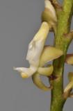 Micropera sp. Close-up.