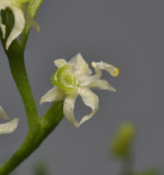 Phymatidium sp. Close-up.