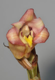 Acanthephippium javanicum. Close-up.