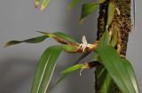 Bulbophyllum ankylorhinon.