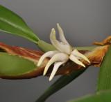 Bulbophyllum ankylorhinon. Closer.