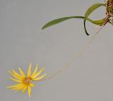Bulbophyllum makoyanum.