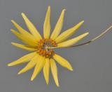 Bulbophyllum makoyanum. Closer.