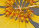 Bulbophyllum makoyanum. Close-up.