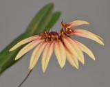 Bulbophyllum brevibrachiatum.