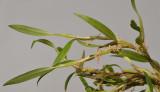 Bulbophyllum savaiense ssp. subcubicum.