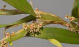 Bulbophyllum savaiense ssp. subcubicum. Closer.