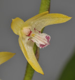 Eria sp. Close-up.