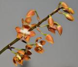 Neomoorea wallisii.